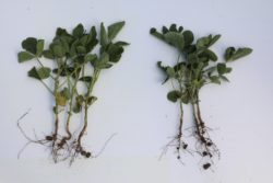 A comparison shot between two soybean plants, one treated with Saltro fungicide seed treatment and the other with ILEVO seed treatment.
