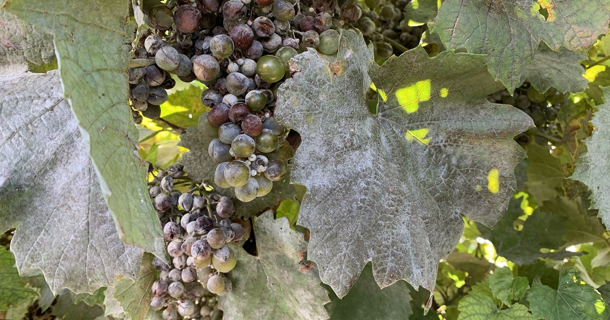 This agronomic image shows Powdery mildew in a Washington grape vineyard.