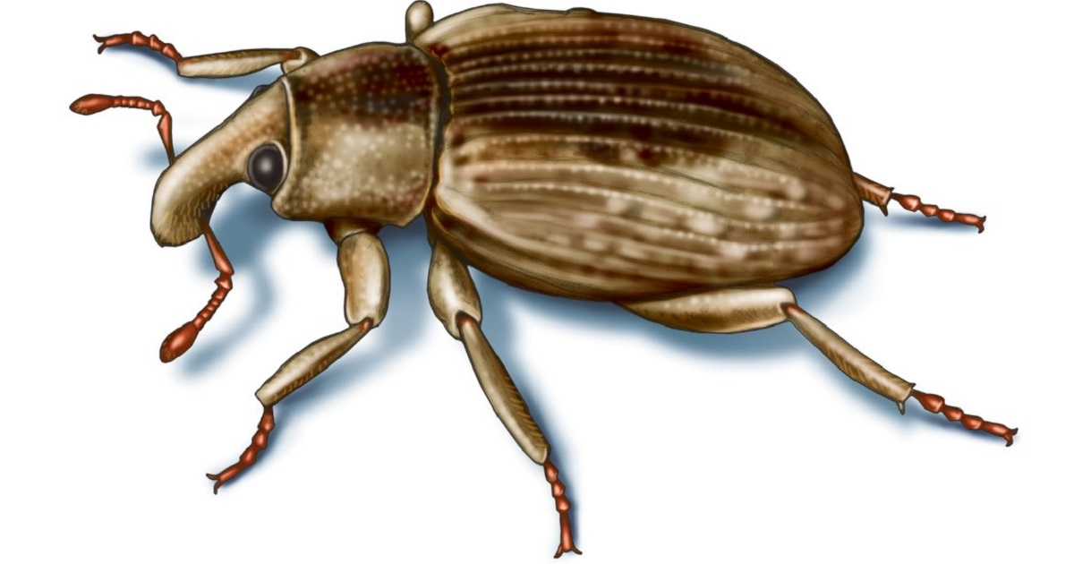 This illustrated image shows rice water weevil