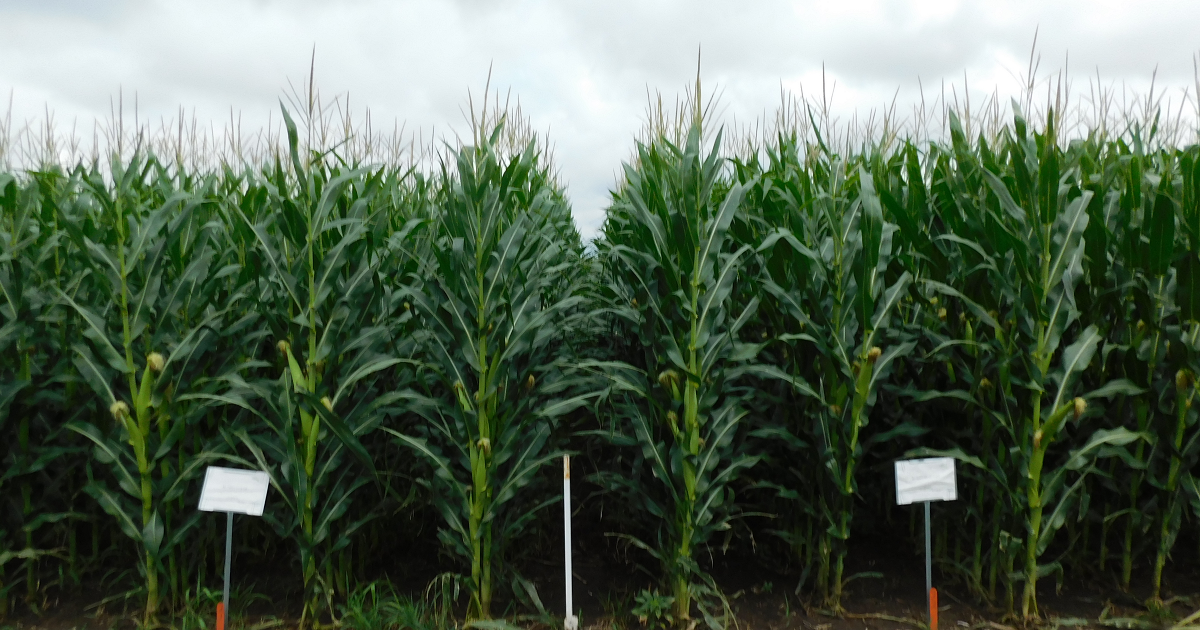 A photo of a corn field used in fungicide trials at the York, NE, Grow More Experience site.