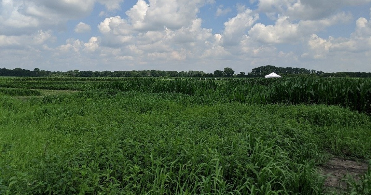 This agronomic image shows weeds at brooklyn, Wisconsin grow more experience site