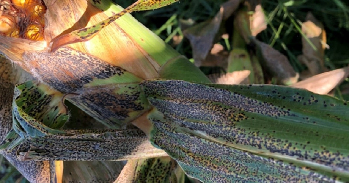 This agronomic image shows tar spot