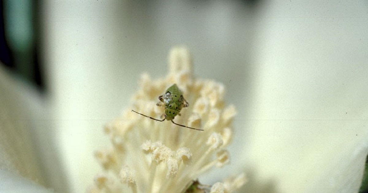This agronomic image shows a tarnished plant bug