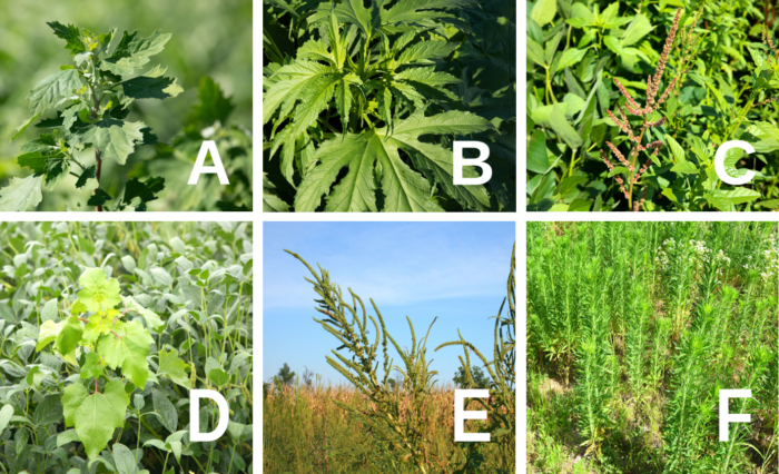 This agronomic image shows a range of corn and soybean weeds