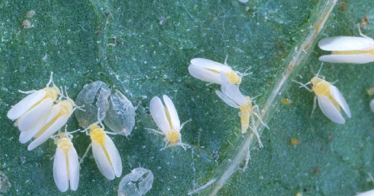 This agronomic image shows silverleaf whiteflies