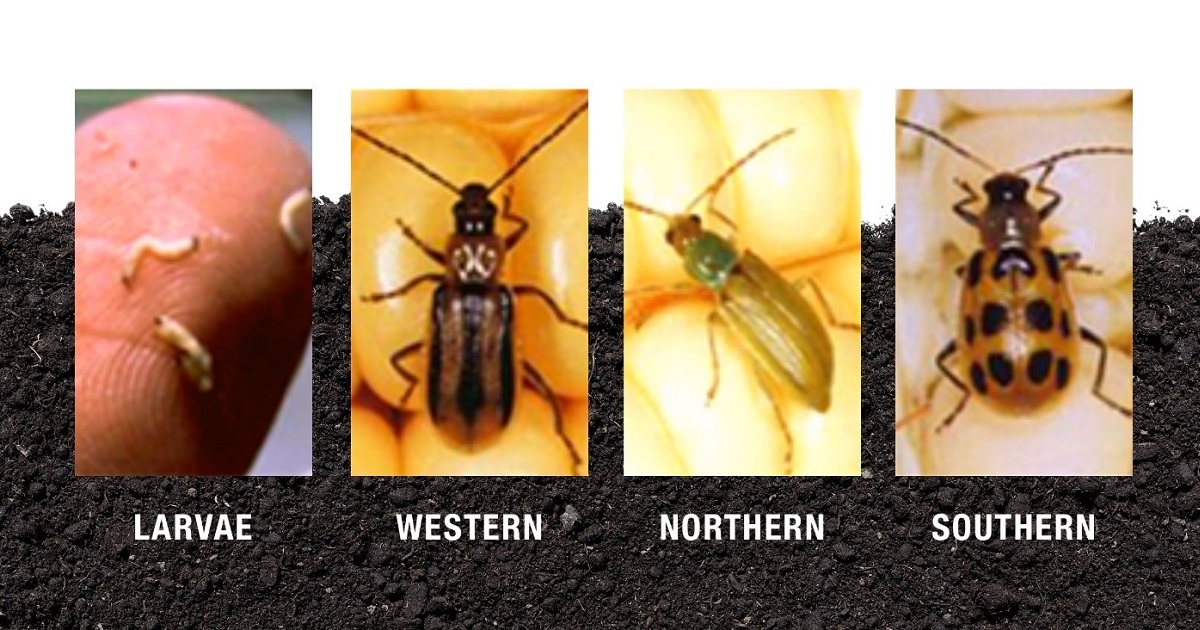 This agronomic image shows the stages and types of corn rootworm