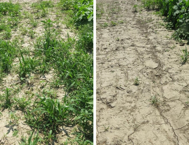 This agronomic image shows herbicide comparisons