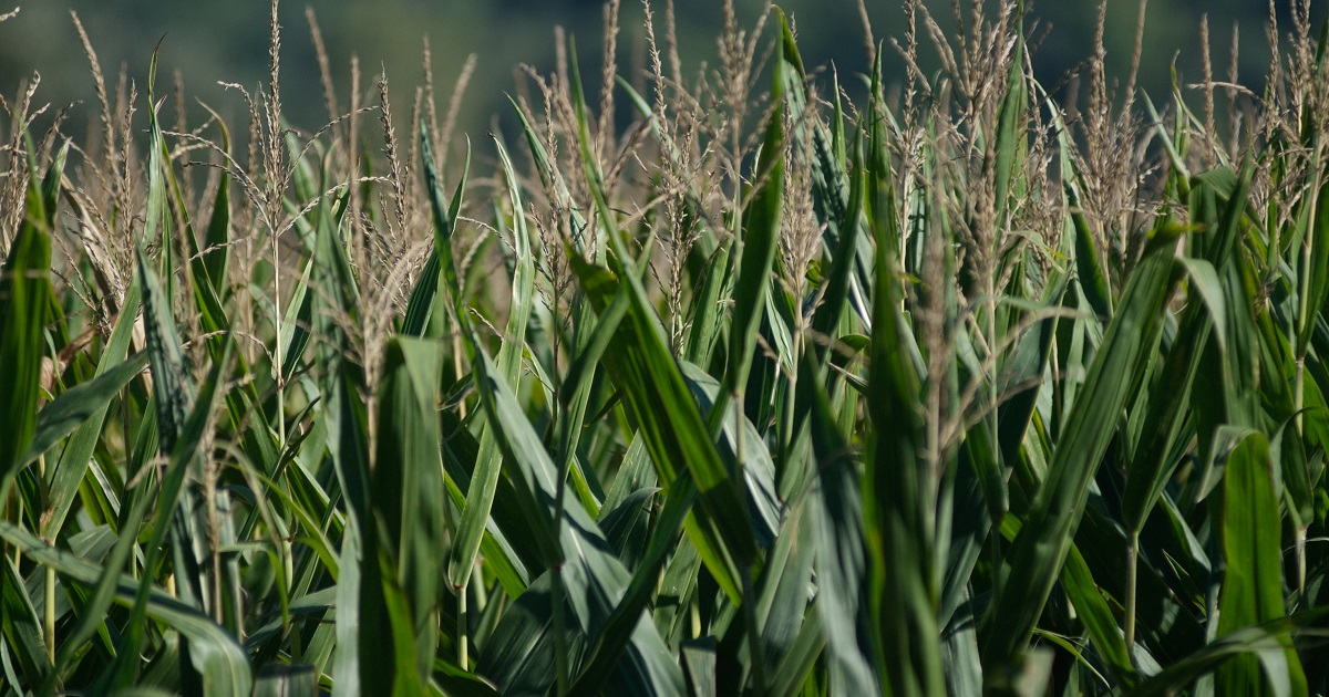 This agronomic image hows corn tassels