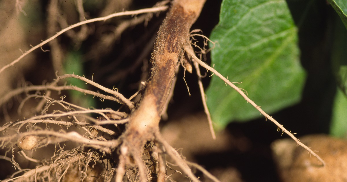 Lesions on a stem infected with Rhizoctonia.