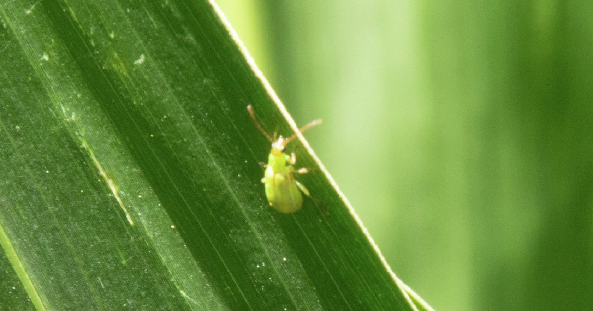 This agronomic image shows corn rootworm on a corn leaf