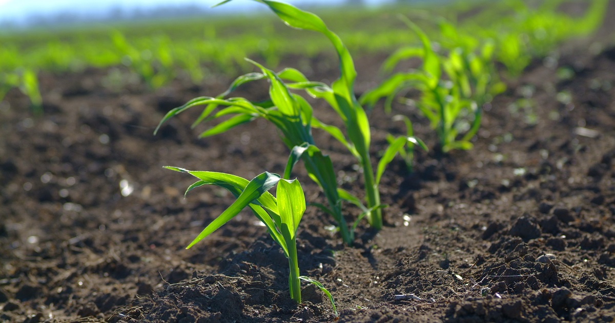 This agronomic image shows young corn