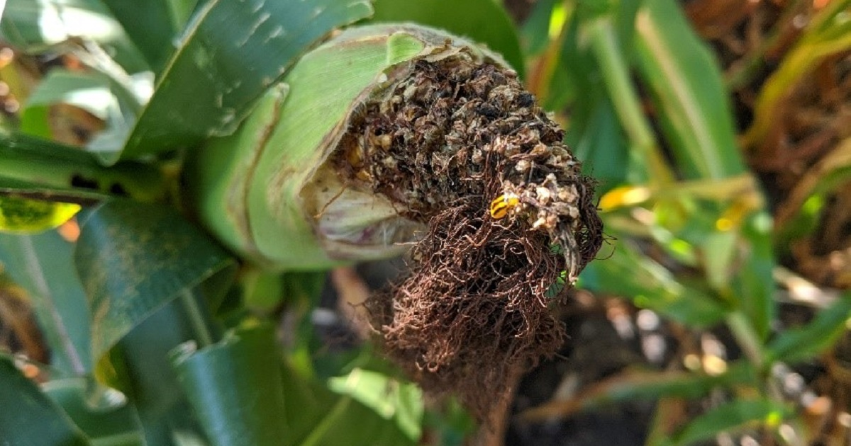 This agronomic image shows corn rootworm damage