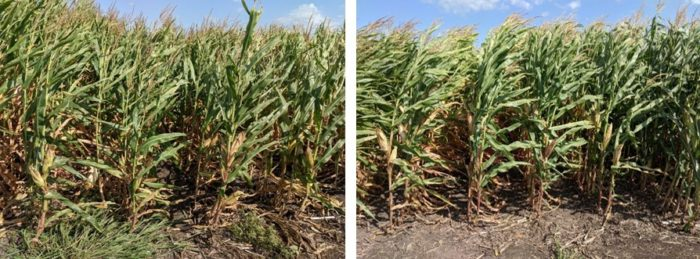 This agronomic compares insecticide treated and untreated corn stalks