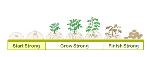 This chart shows potato growth stages