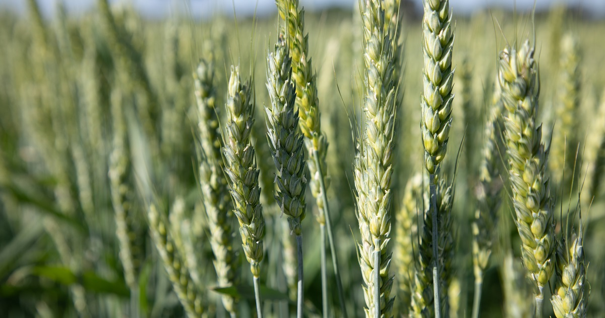 This agronomic image shows wheat fields.