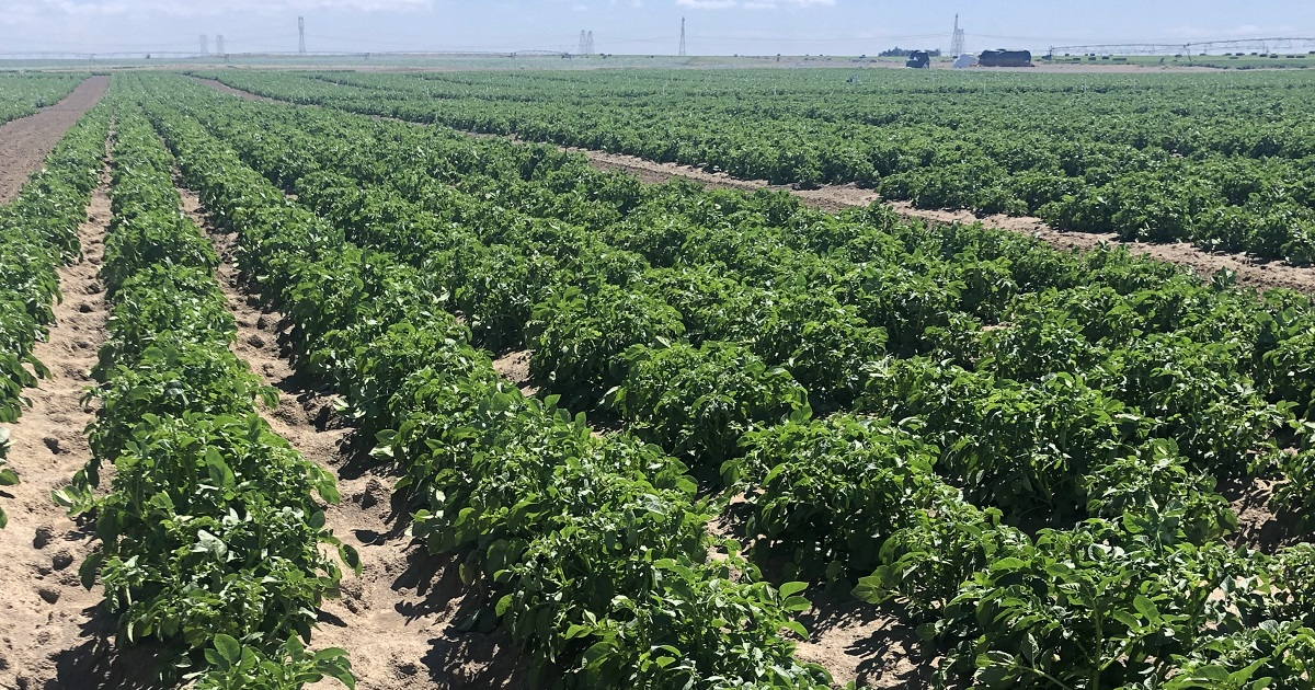 This agronomic image shows Potato trials at the Ephrata, WA, Grow More™ Experience site.