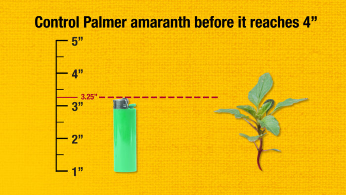 This illustrated graph compares a weed size to a lighter.