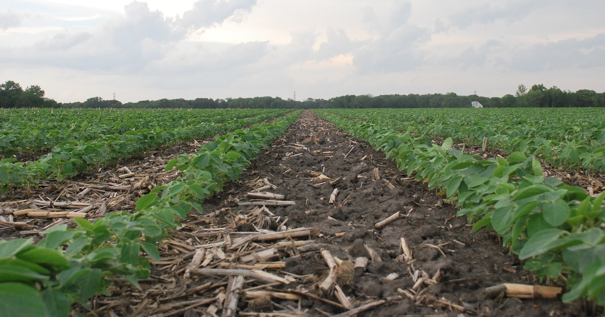 This agronomic image shows young soybeans in rows.