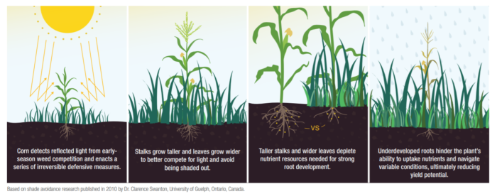 This graph shows corn root growth comparison