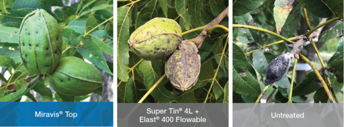 This agronomic image compares treatment of nut scab in pecans