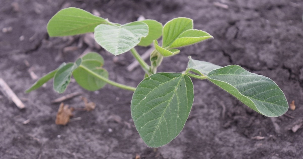 This agronomic image shows a young soybean