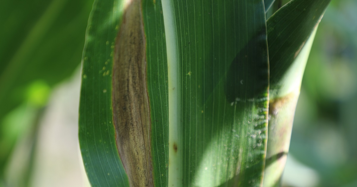 This agronomic image shows northern corn leaf blight damage