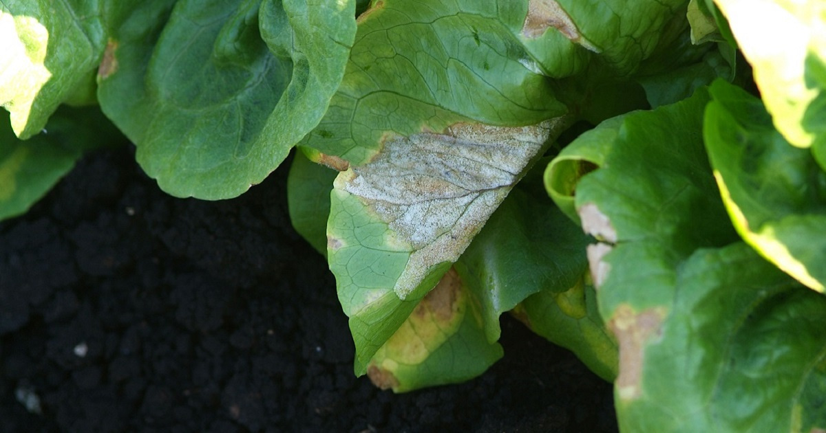 This agronomic image show downy mildew