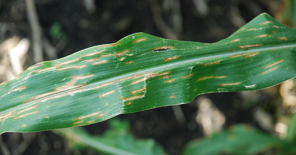 this agronomic image shows gray leaf spot