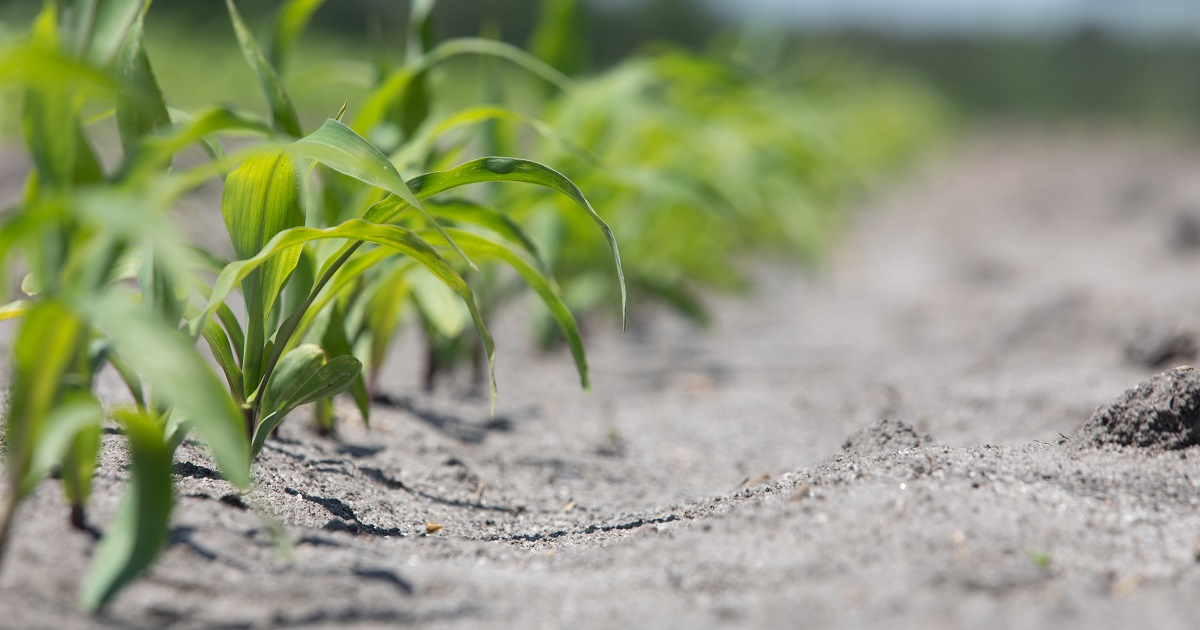 this agronomic image shows a clean corn row