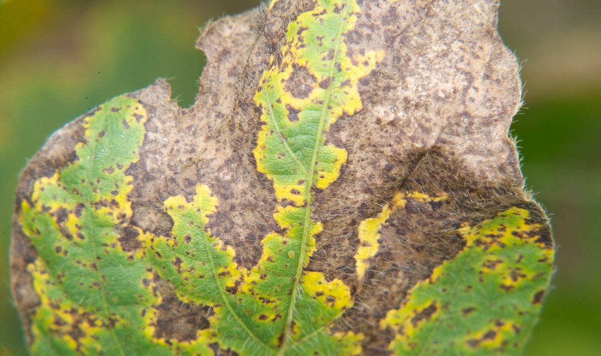 Soybean leaf infected with brown spot