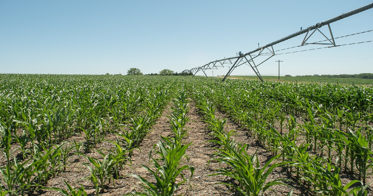 Corn emerges in a clean, weed-free row