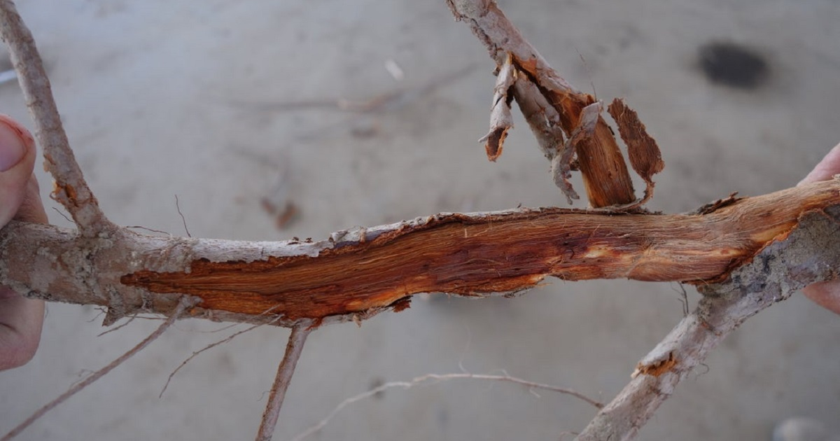 almond root infected with Phytopthora
