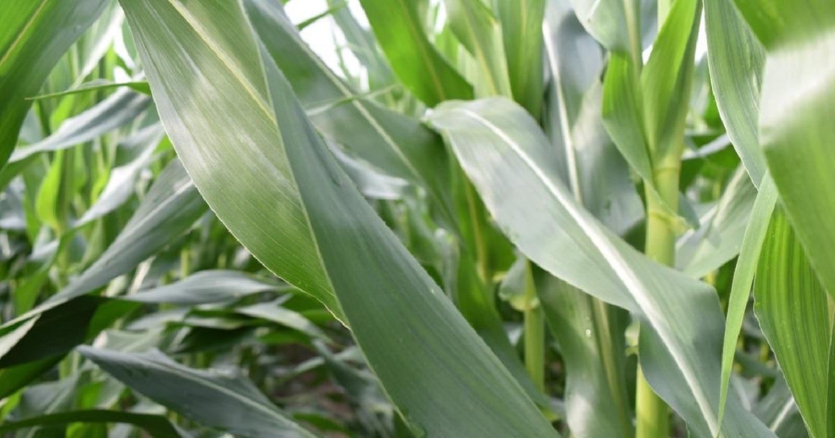 corn leaf