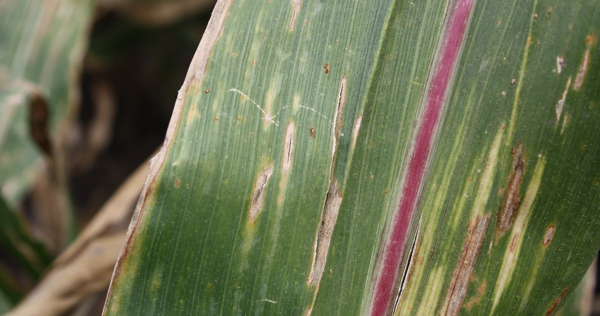 Gray leaf spot on corn leaf