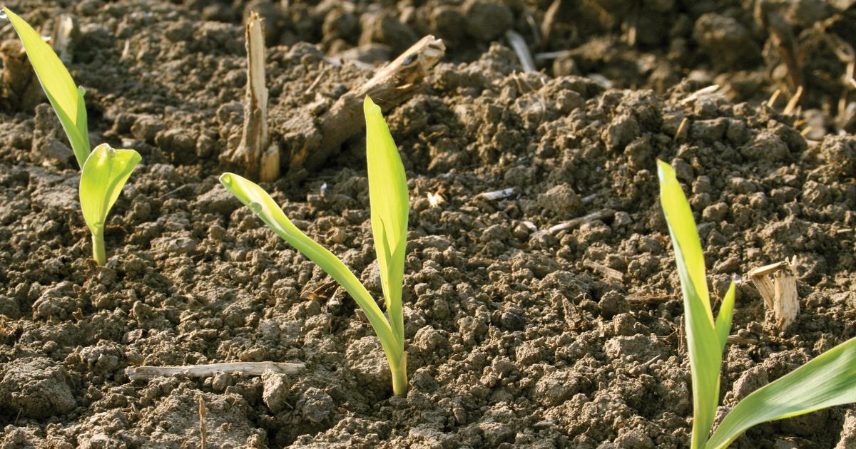 corn plants emerging from soil