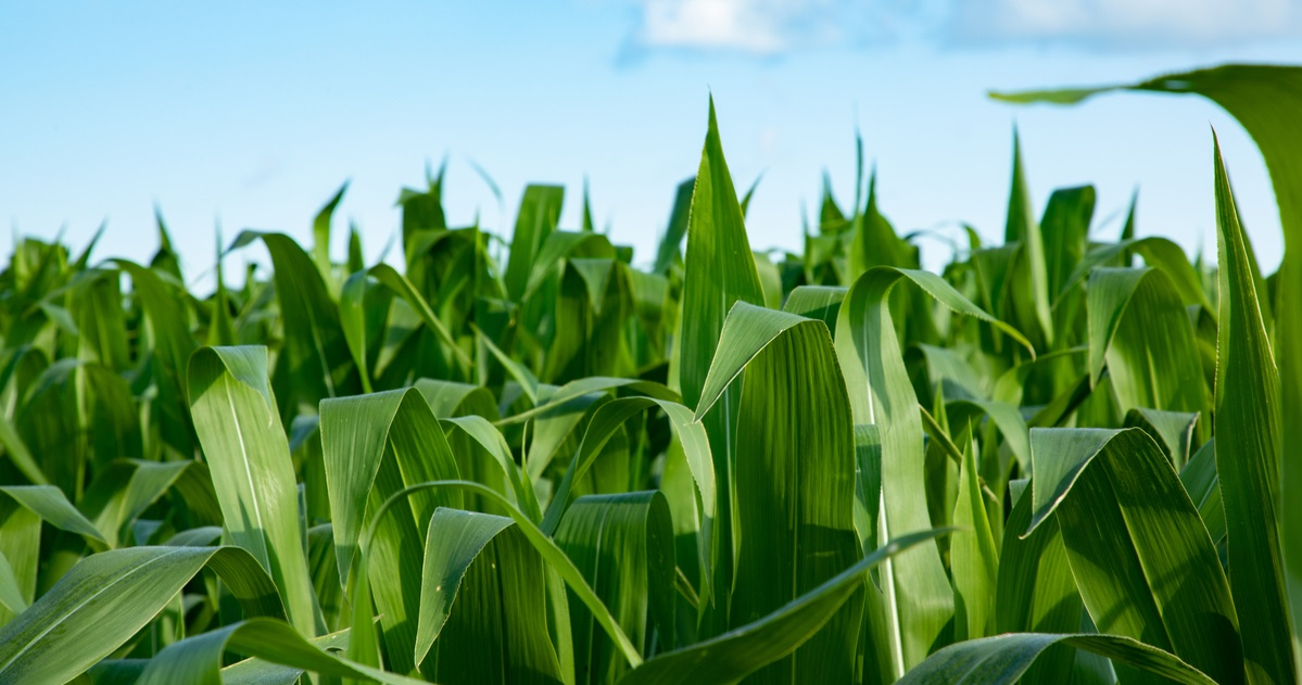 close-up shot of corn growing in field