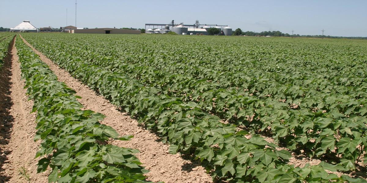 Clean Cotton Field