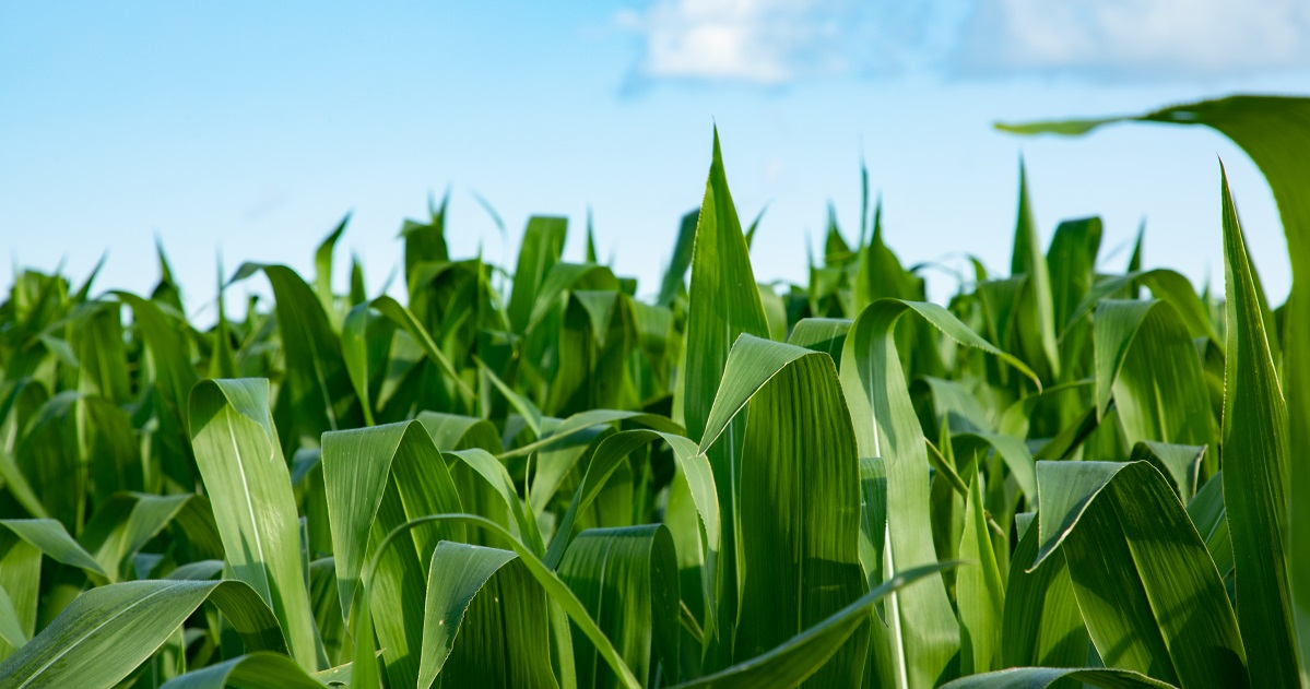 green corn leaves