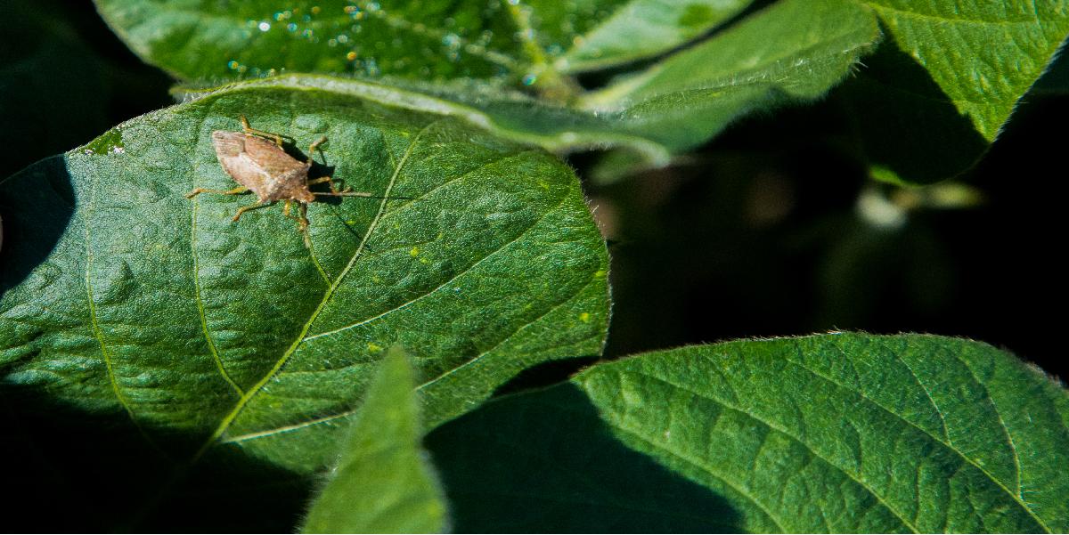 stink bug on cotton leaf